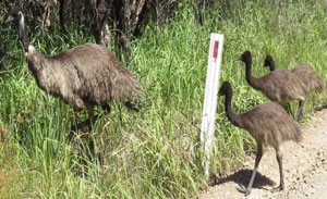 Glenugie CSG Drilling Threatens  Coastal Emus And Yuraygir National Park